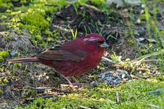 Taiwan Rosefinch (Ken Behrens) Tags: kenbehrens taiwan tropicalbirding asia birds nature mountains endemics