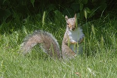 These blades aren't hiding me !! (tony allan tony allan) Tags: squirrel greysquirrel wildlife nature naturalworld animal m42 manualfocus legacyglass vintageglass mirage80200mmlens nikond3200