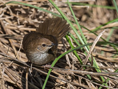 Taiwan Bush-Warbler (Ken Behrens) Tags: kenbehrens taiwan tropicalbirding asia birds nature mountains endemics