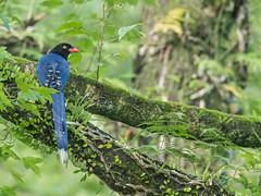 Taiwan Blue Magpie (Ken Behrens) Tags: kenbehrens taiwan tropicalbirding asia birds nature mountains endemics