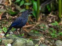 Taiwan Whistling-Thrush (Ken Behrens) Tags: mountains nature birds asia taiwan endemics tropicalbirding kenbehrens