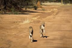 Cheetahs, Cheetah Conservation Fund, Namibia 2019 (Beppie K) Tags: namibia africa cheetahconservationfund ccf cheetah bigcats cats actionshot