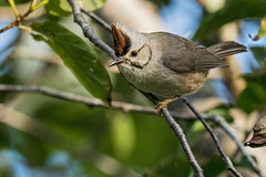 Taiwan Yuhina (Ken Behrens) Tags: kenbehrens taiwan tropicalbirding asia birds nature mountains endemics