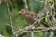Taiwan Hwamei (Ken Behrens) Tags: kenbehrens taiwan tropicalbirding asia birds nature mountains endemics
