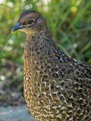 Mikado Pheasant (Ken Behrens) Tags: kenbehrens taiwan tropicalbirding asia birds nature mountains endemics