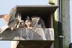 Feeding time (roger_forster) Tags: kestrel falcotinnunculus male wild alvervalley leeonthesolent gosport hampshire hiwwt