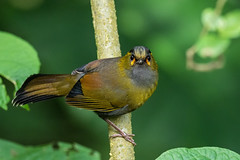 Steere's Liocichla (Ken Behrens) Tags: kenbehrens taiwan tropicalbirding asia birds nature mountains endemics