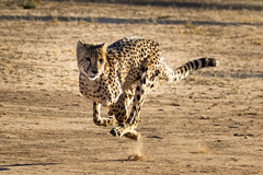 Cheetah in Motion, Cheetah Conservation Fund, Namibia 2019 (Beppie K) Tags: namibia africa cheetahconservationfund ccf cheetah cheetahinmotion cat bigcat