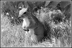 Make this a mono one !! (tony allan tony allan) Tags: mono monochrome blackandwhite wildlife squirrel greysquirrel park m42 manualfocus closeup mirage80200mmlens legacyglass vintageglass nikond3200 nature naturalworld