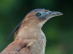 Malayan Night-Heron (Ken Behrens) Tags: kenbehrens taiwan tropicalbirding asia birds nature mountains endemics