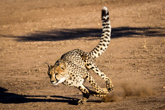 Cheetah in Motion, Cheetah Conservation Fund, Namibia 2019 (Beppie K) Tags: namibia africa cheetahconservationfund ccf cheetah cheetahinmotion cat bigcat actionshot