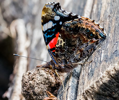Camer Red Admiral underwing
