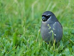 Gray-headed Bullfinch (Ken Behrens) Tags: kenbehrens taiwan tropicalbirding asia birds nature mountains endemics