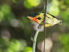 Fire-breasted Flowerpecker (Ken Behrens) Tags: kenbehrens taiwan tropicalbirding asia birds nature mountains endemics