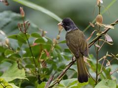 Collared Finchbill (Ken Behrens) Tags: kenbehrens taiwan tropicalbirding asia birds nature mountains endemics