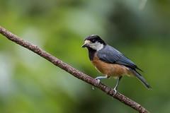 Chestnut-bellied Tit (Ken Behrens) Tags: kenbehrens taiwan tropicalbirding asia birds nature mountains endemics