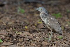 Malayan Night-Heron immature (Ken Behrens) Tags: kenbehrens taiwan tropicalbirding asia birds nature mountains endemics
