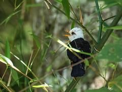 Taiwan Thrush (Ken Behrens) Tags: kenbehrens taiwan tropicalbirding asia birds nature mountains endemics