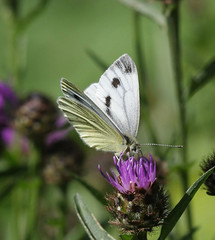 Green veined white (yvonnepay615) Tags: panasonic lumix gh4 nature butterfly greenveinedwhite nt nationaltrust wickenfen cambridgeshire uk coth coth5