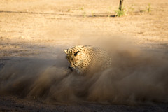 Cheetah Catch, Cheetah Conservation Fund, Namibia 2019 (Beppie K) Tags: namibia africa cheetahconservationfund ccf cheetah bigcat cat actionshot