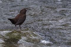 Brown Dipper (Ken Behrens) Tags: kenbehrens taiwan tropicalbirding asia birds nature mountains endemics
