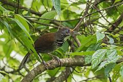 Black-necklaced Scimitar-Babbler (Ken Behrens) Tags: kenbehrens taiwan tropicalbirding asia birds nature mountains endemics