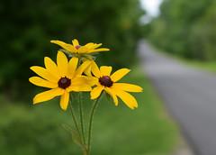 Another Roadside Attraction (jmunt) Tags: wildflower blackeyedsusan rudbeckiahirta
