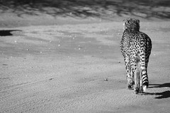 Cheetah in Retreat, Cheetah Conservation Fund, Namibia 2019 (Beppie K) Tags: namibia africa cheetahconservationfund ccf cheetah bigcat cat blackandwhite