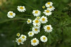 Feverfew (Tanacetum parthenium) (bramblejungle) Tags: feverfew tanacetum parthenium