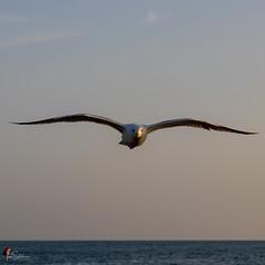Seagull in flight (ivanstevensphotography) Tags: sea gull seagull beach seaside birds bird