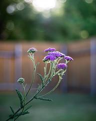 Day 593 | Backyard Beauty (JL2.8) Tags: boise idaho unitedstatesofamerica flower sunset day593 canon 6dmk2 project365 365 photochallenge