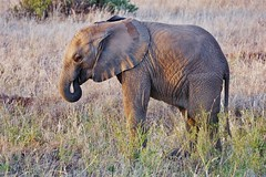 Juvenile Male African Elephant (Loxodonta africana) (Susan Roehl) Tags: samburunationalreserve kenya eastafrica africanbushelephant loxodontaafricana largestlivingterrestrialanimal mammal 37counties forests grasslands woodlands wetlands agricultural social herds adultbullslivealone herbivore grasses creepers herbs leaves bark listedasvulnerable habitatdestruction poaching sueroehl photographictour naturalexposures panasonic lumixdmcgh4 100400mmlens coth5 ngc npc