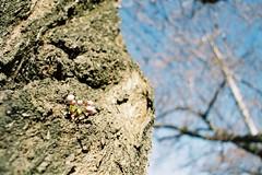 Coming soon (しまむー) Tags: minolta srt101 mc rokkor 50mm f14 kodak gold 200 桜