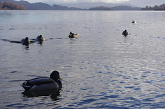 Ducks of Loch Lomond (Perspective.Photography) Tags: alexandria scotland unitedkingdom lochlomond loch ducks hills nature water fowl birds trees trossachs