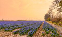 Pastel world. (Alex-de-Haas) Tags: 1635mm d500 dutch europa europe holland nederland nederlands netherlands nikkor nikkor1635mm nikon nikond500 noordholland agriculture akkerbouw beautiful beauty bloemen bloemenvelden boerenland bollenvelden bulbfields farmland farming flowerfields flowers hyacint hyacinten hyacinth hyacinths landbouw landscape landscapephotography landschaft landschap landschapsfotografie lente lucht mooi polder pracht schoonheid skies sky spring sundown sunset zonsondergang sintmaartensvlotbrug northholland