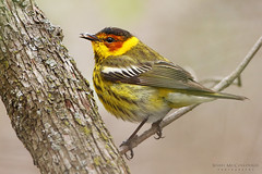 Cape May Warbler (Shari McCollough Nature Photography) Tags: capemaywarbler warbler bird perch maggemarsh springmigration spring birding photography birdphotography nature wildlife canon canonlens leaf bug sharimccolloughphotgraphy