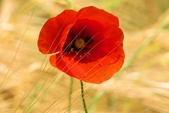 P1110755 (alainazer2) Tags: saintmichellobservatoire provence france fiori fleurs flowers fields champs colori colors couleurs coquelicot poppy papavero blé grano wheat