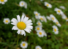 Ox Eye Daisy (jmunt) Tags: wildflower daisy leucanthemumvulgare