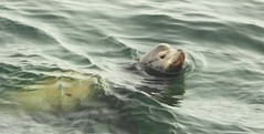 9410 e Sea Lion in the surf (jjjj56cp) Tags: sealion marinelife marine aquatic swimming californiasealion pinniped ocean pacificocean calm gentlewaves closeup whiskers lajolla ca california lajollacove p1000 coolpixp1000 nikoncoolpixp1000 jennypansing headshot