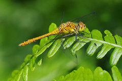 Ruddy Darter (Hugobian) Tags: dragonfly dragonflies insect nature wildlife fauna macro pentax k1 hertford heathe reserve ruddy darter