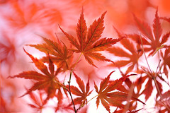 Happy Birthday Canada! (lfeng1014) Tags: canadaday happybirthdaycanada light macro closeup spring dof bokeh depthoffield mapletree mapleleaves macrophotography lifeng canon5dmarkiii ef100mmf28lmacroisusm