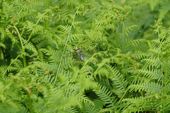 Can You See Me? (Hugobian) Tags: emperor dragonfly insect nature wildlife fauna hertford heath reserve pentax k1