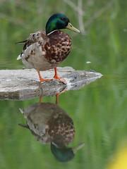 Mallard Duck (ChongBT) Tags: nature natural wild life wildlife animal bird avian watching birdwatching ornithology olympus anas platyrhynchos mallard duck drake