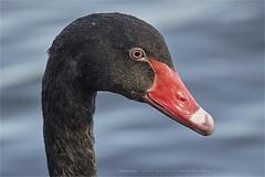 The black swan (Marijke M2011) Tags: cygnusatratus zwartezwaan bird birdportrait nature utrecht lake water wildspecies waterbird