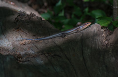 Skink Blue Tail - 062619 - 153657 (Glenn Anderson.) Tags: lizard bluetailedskink nature log woods forest trails walking statepark sunshine sunning dof bokeh reptile reptilian