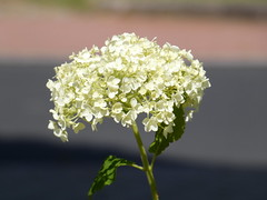 Hydrangea (cangaroojack) Tags: hydrangea macrophylla hortensia white flower garden blume hortensien hortensie garten blumen weis weise
