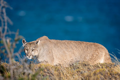 Intense (Glatz Nature Photography) Tags: eyecontact sarmientocub2018 petaca panther mountainlion cougar pumaconcolor puma chile glatznaturephotography magallanes nature patagonia southamerica torresdelpaine wildanimal wildlife