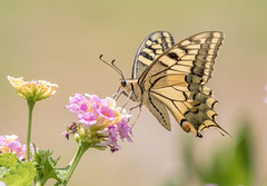 papilio machaon (jjulio2311) Tags: coth5 ngc npc butterfly flower macro insect animal nature garden yellow green spain naturephotography