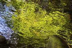 Vine maples reflect on a small creek (rozoneill) Tags: mckenzie river national recreation trail bridge deer scott boulder willamette forest belknap springs oregon hiking creek