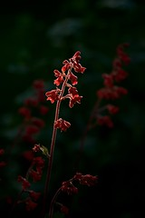 The Dark Garden 01 (The Good Brat) Tags: colorado us heuchera heucherasanguineafirefly coralbells dark garden thedarkgarden red flower bloom